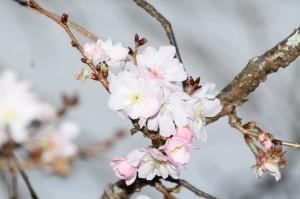 1117春と秋に咲く桜_菊池公園3